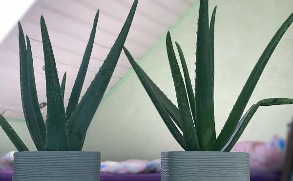 Aloe vera im Schlafzimmer